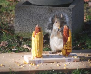 Squirrel participating in the experiment.