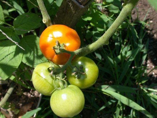 coolpx tomato