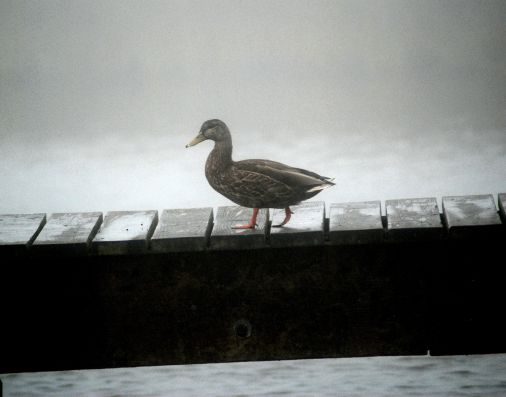 d80 gull