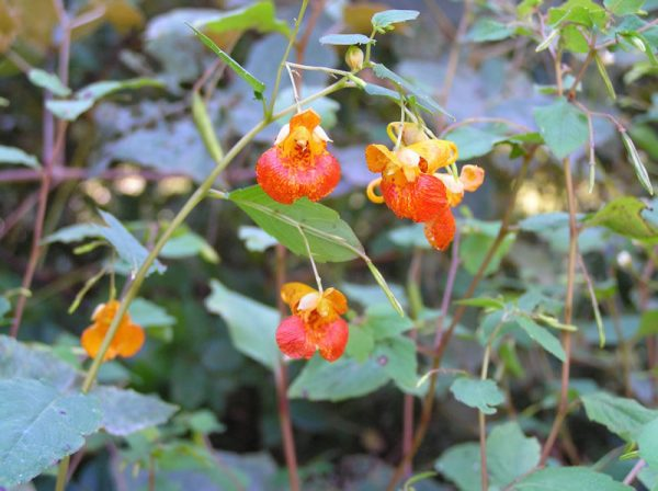 impatiens_capensis_photo2_lg